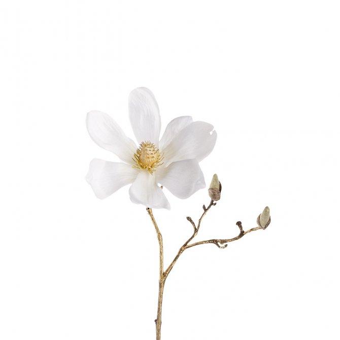 Magnolie 30 weiß/gold Stellato